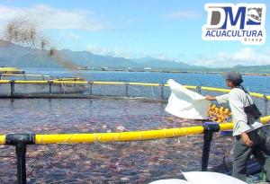 Ventajas de las camas o jaulas acu colas de tilapia dm for Construccion de jaulas flotantes para tilapia
